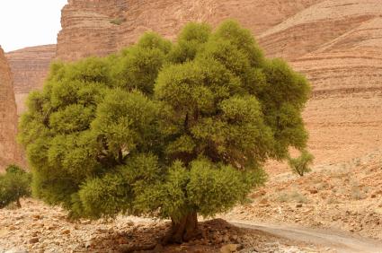 Photo of an Argan Tree