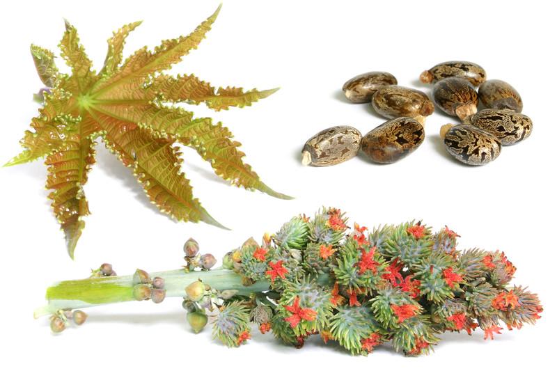 castor-seeds-canstock-.jpg