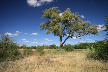 shea-tree.jpg